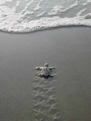 Baby Turtle Making It's Way to the Sea