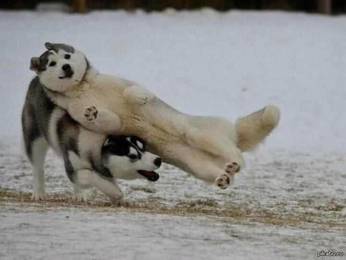 photobomb,dogs,huskies,funny