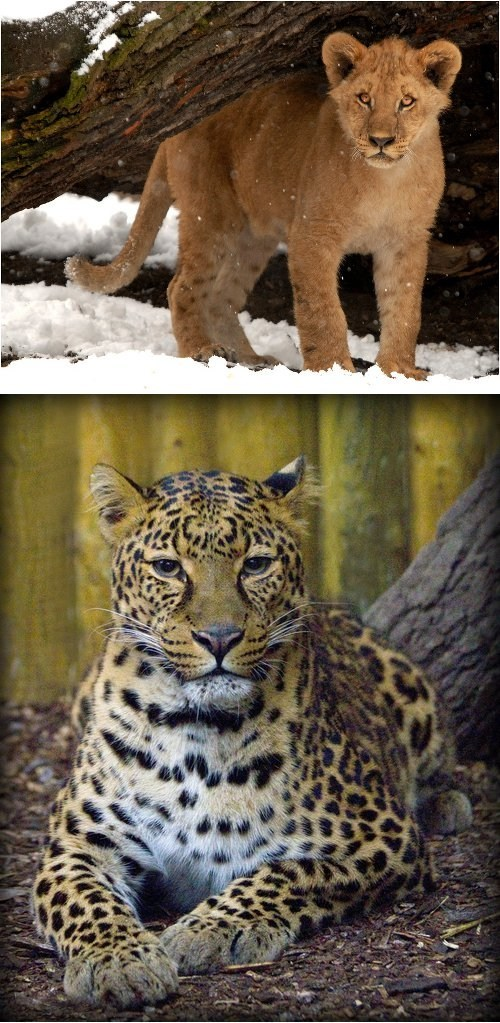 leopard,lion,big cats,squee spree