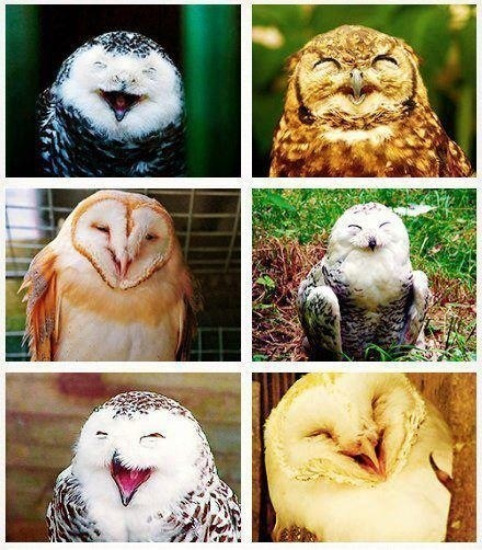 owls,laughing
