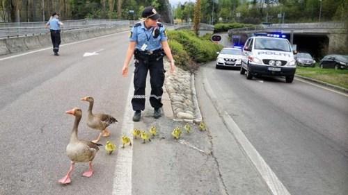 ducks,cute,police