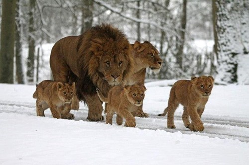 lions,Hawaii,vacation
