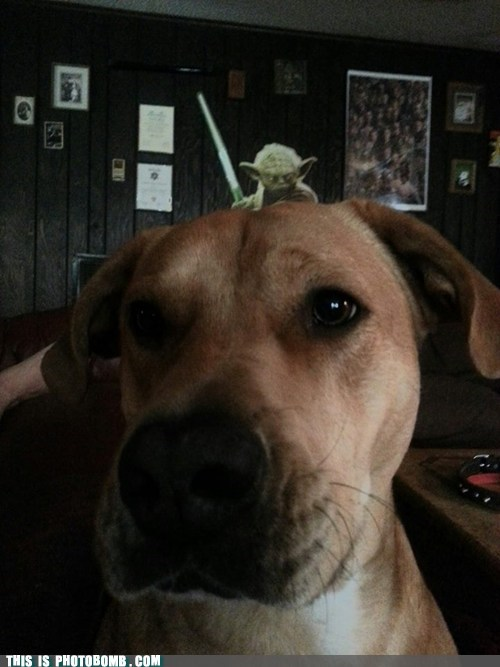 photobomb dogs yoda funny - 7480441088