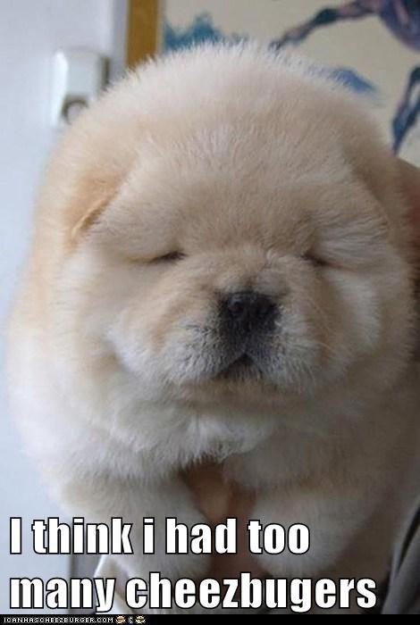 puppy husky funny chubby - 7482142720