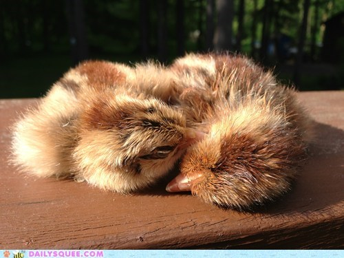 chicks,sleepy