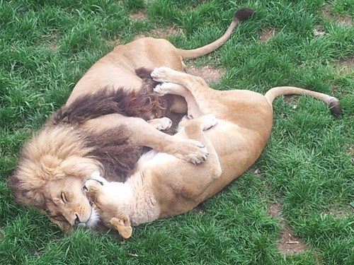 lions,zoo,cuddling