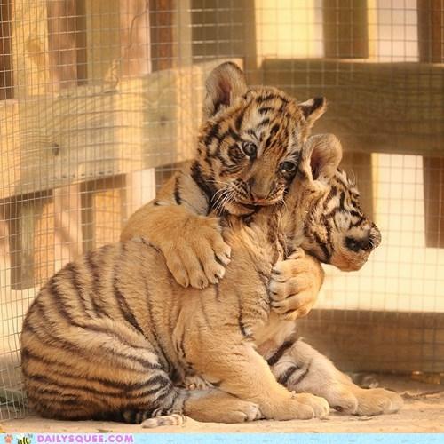 tiger,cubs,hug