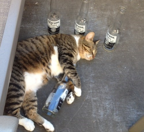 beer,cat,passed out,Party,funny