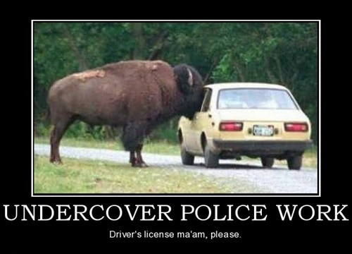bison,undercover,funny,police