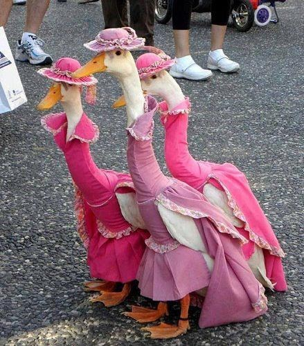 funny,Geese On Parade,animals dressed like people