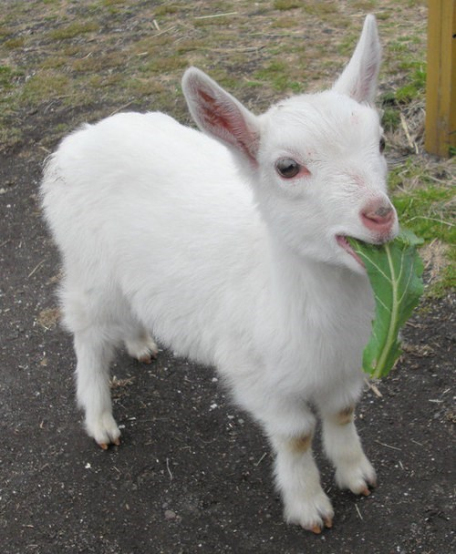 goat food noms - 7494865408