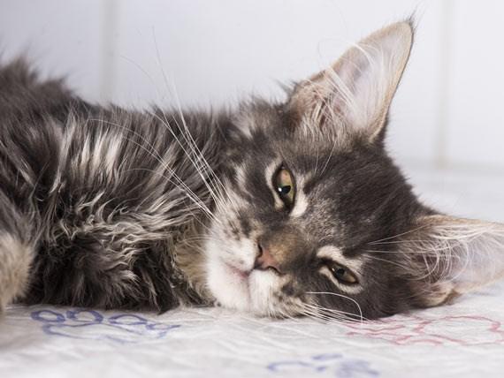 emergency medical vet Cats - 7497477