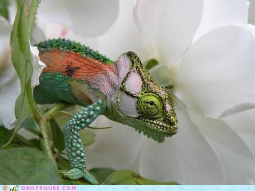 tiptoe,flowers,chameleon