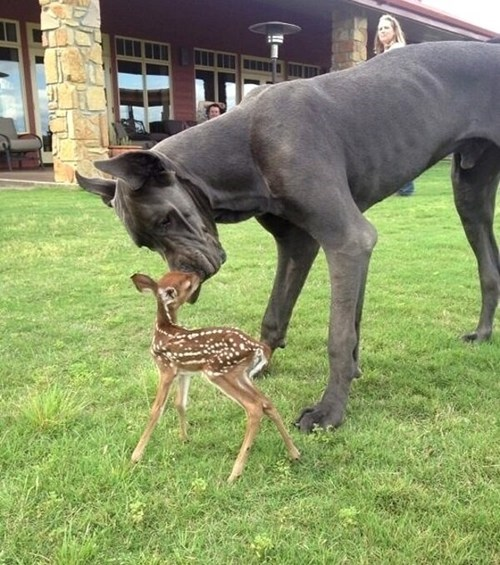 Interspecies Love,deer,mom,dogs