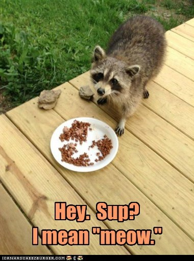 cat,raccoon,funny