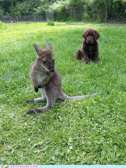 baby puppy kangaroo - 7512193024