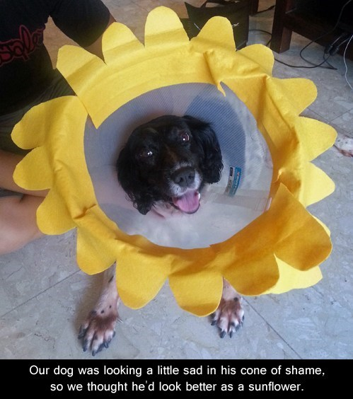 elizabethan collar,cone of shame,sunflower