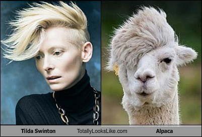 alpaca,tilda swinton,totally looks like,funny