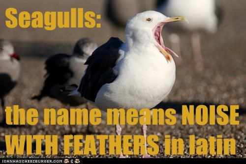 Seagulls: the name means NOISE WITH FEATHERS in latin