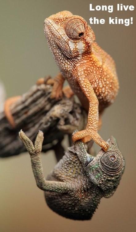 chameleon,lion king,funny
