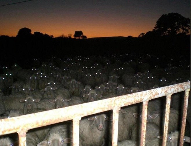 animal photos herd eyes sheep night - 7516165
