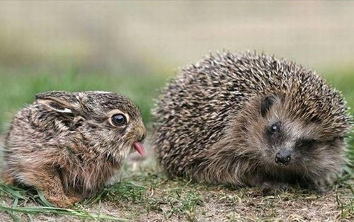 tongue,hedgehog,bunny