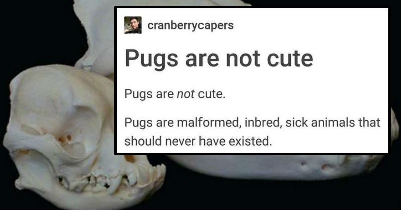 facts about the dog breed pug and how they are not what nature intended, even if they are cute