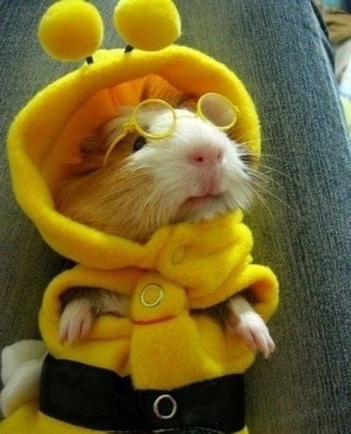 costume,cute,guinea pig,bee