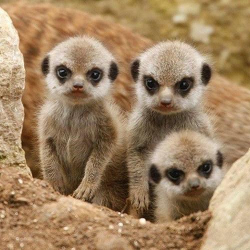 baby Meerkats - 7528628992
