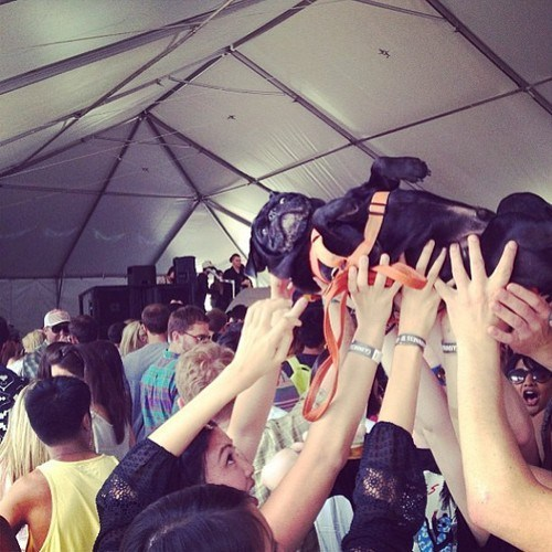 crowdsurfing Music concerts pug funny g rated - 7531031040