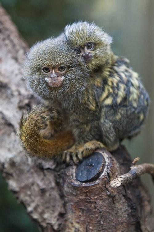 monkeys dwarf hug - 7531675392