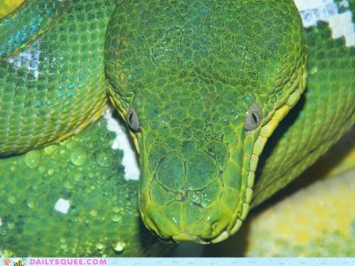 emerald,snake