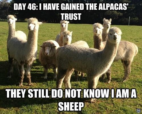 sheep funny alpacas