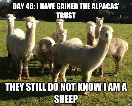 sheep funny alpacas - 7533634304