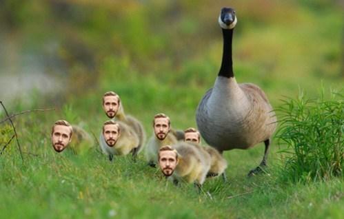 geese,puns,Ryan Gosling,goslings