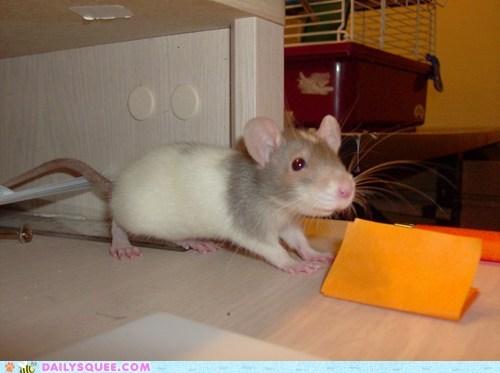 baby rat cute pet - 7535485440
