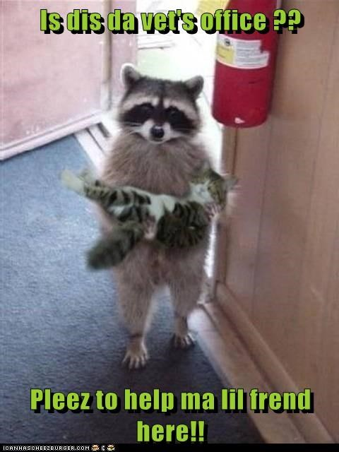 raccoon,cute,carrying,vet,rescue
