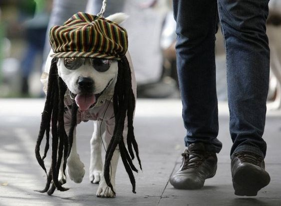 dog wearing sunglasses and a rasta hat with dreads