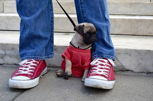 pug,puppy,tee shirt,cute