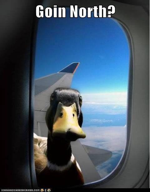ride,duck,plane,funny