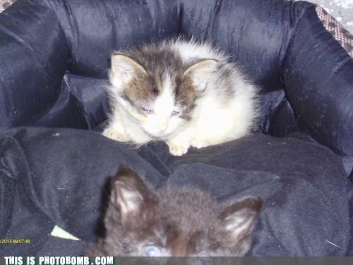 photobomb kitten Cats funny - 7539581952