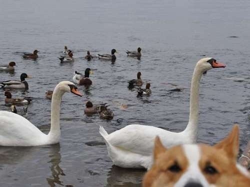 photobomb,dogs,birds,ducks,swans,funny,corgis