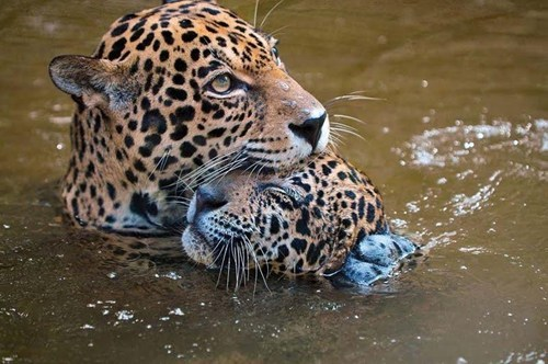 leopard baby water swimming mom