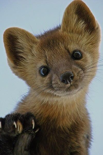 up close,stoat