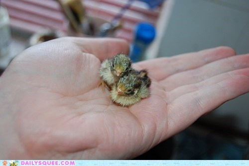 Baby Quail Chicks Daily Squee Cute Animals Cute Baby Animals