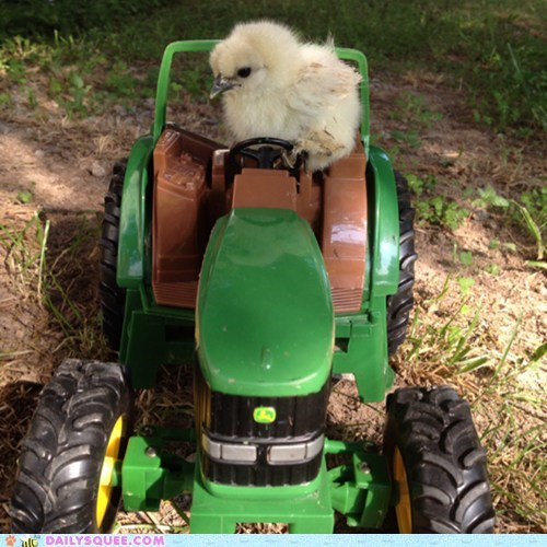 farming,blue,tractor,chick