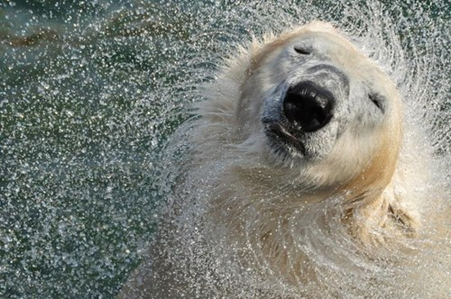 hair,polar bear,awesome,loreal