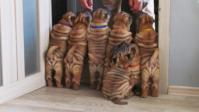 dogs dog photos wrinkles shar pei funny dogs - 7561989