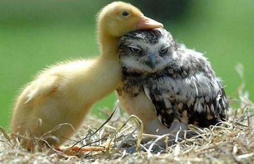 snuggle ducks cute - 7563030016