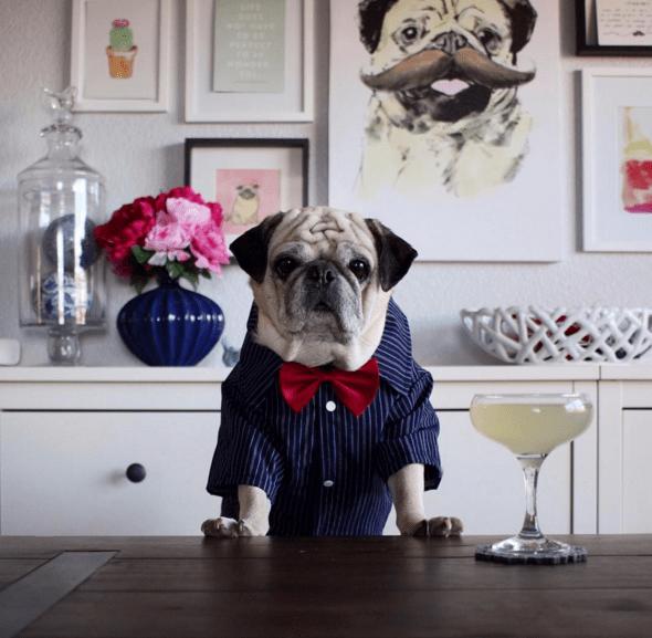dogs pugs bartender - 756485